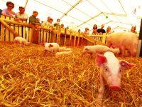 Baden Messe 2012, Ferkel, Tiere