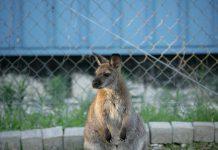 Känguru Sally aus Kenzingen ist wieder zuhause, Helfer konnten sie heute einfangen